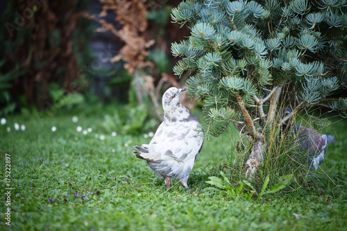 Foto op Plexiglas Vogel White and gray pigeons on the grass