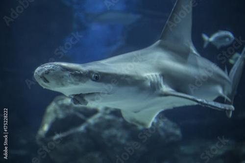 Obraz na dibondzie (fotoboard) Rekin rekina