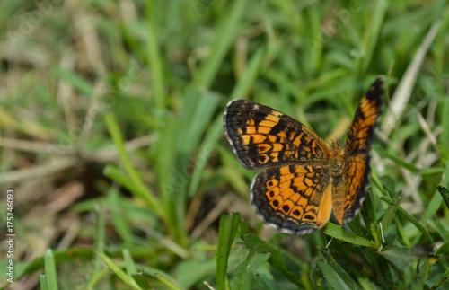 Plakat Pomarańczowy i czarny motyl na zielonej trawie w lecie