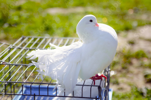 Fototapeta premium Decorative white dove sitting on the cage. Breed pigeon peacock. Birds in captivity, tamed by man. Breeding breeds of pigeons.