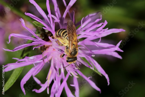 Plakat Honeybee na knapweed, Apis mellifica