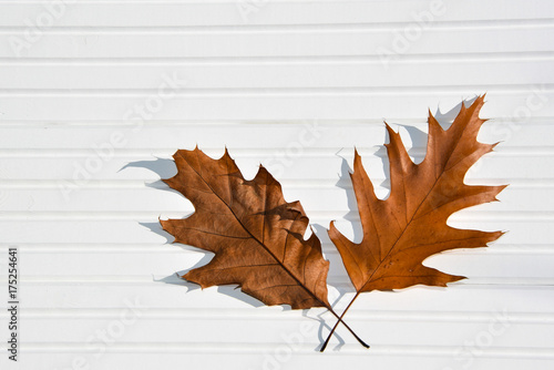 Fototapety, obrazy: photography image autumn oak leaves on white wood panels with sunlight and shadows