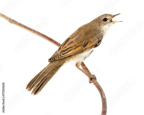 Whitethroat (Sylvia communis). Canvas-taulu