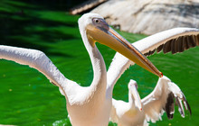 White Pelican Spread Its Wings On The Pond