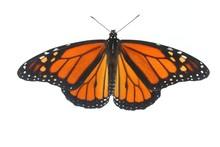 Male Monarch Butterfly (danaus...
