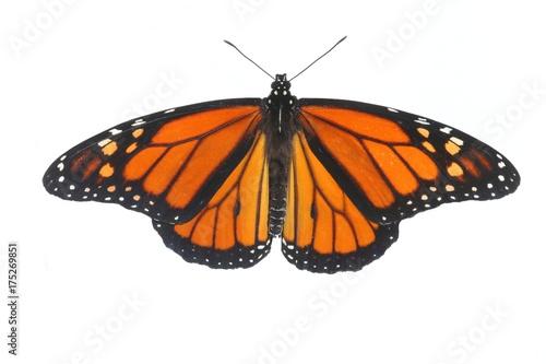 Fotografie, Obraz  Male Monarch Butterfly (danaus plexippus) on White