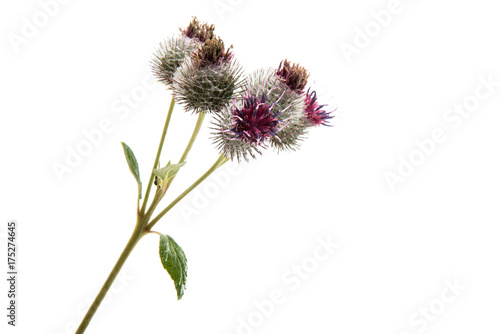 burdock isolated Canvas Print