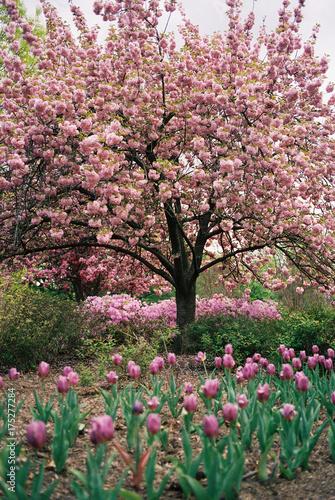 drzewo-wisni-kwitnie-na-wiosne-w-poblizu-lozka-tulipanow