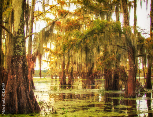 Gorgeous view of a cluster of Cypress trees covered in Spanish moss in Louisiana Wallpaper Mural