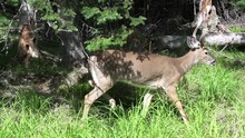 Maine, Whitetail Deer On Edge ...