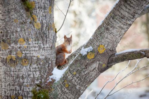 Zdjęcie XXL Eurazjatycka czerwona wiewiórka na śnieżnym drzewie przy zimą