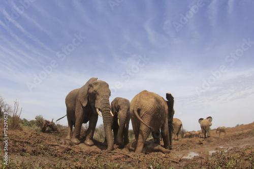 Zdjęcie XXL Słonie afrykańskie