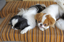 Japanese Little Spaniels In Their Little House And Comfort