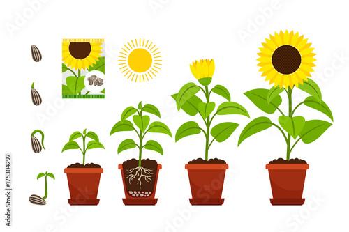 Fotografie, Obraz Sunflower sprouts. Sunflowers seedling shoots in pot