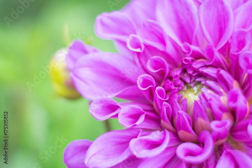 Zdjęcie XXL Piękny fiołek purpurowa dalia w ogródzie, zakończenie up i miękka ostrość