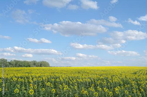 Foto op Plexiglas Weide, Moeras sunflower field and cloudy sky