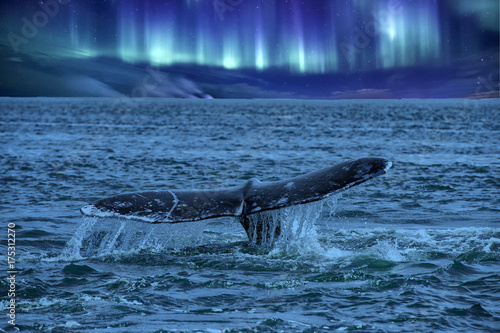 whale tail going down on northern lights background
