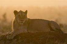 A Lion (Panthera Leo) Resting On A Termite Mound At Sunset, Tsavo, Kenya