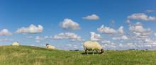 Panorama Of Dutch White Sheep ...
