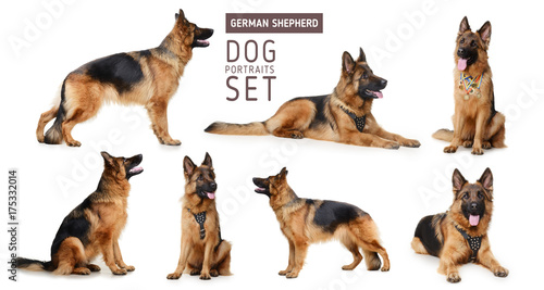Set of Portraits of Fluffy German Shepherd Dog. The symbol of 2018 year by Chinese traditional horoscope
