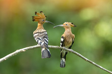 A Beautiful Birds Hoopoe Perch...