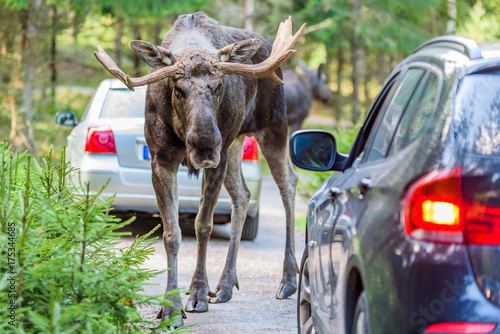 Moose bull looking into a car while standing in its way. Cars registration numbers and make removed.