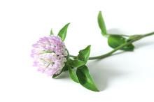 Fleur De Trèfle Sur Fond Blanc