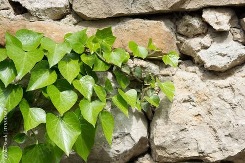 Foto op Aluminium Op straat Green ivy leafs on a white stone wall
