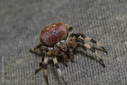 Plakat pająk polowanie na trawie