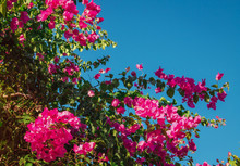 Branch Of Pink Bougainvillea F...