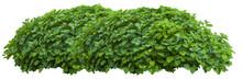 Beautiful Fresh Green Bush Iso...