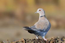 The Eurasian Collared Dove (St...