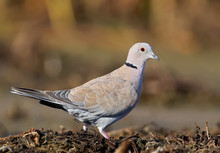 The Eurasian Collared Dove (Streptopelia Decaocto) Close Up Portrait On Colorfull Blurred Background