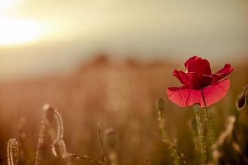 single poppy on red tuned background