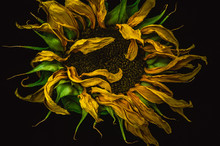 Withered Sunflower On A Black ...