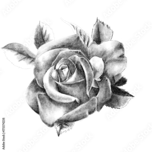 Fototapety, obrazy: Pencil drawing of a rose closeup on a white background