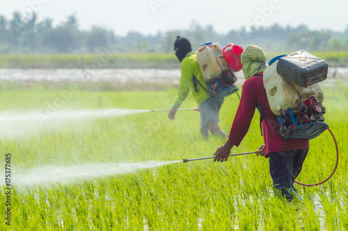 Fotomural Farmers are spraying pesticide to protect plants by manual backpack sprayer