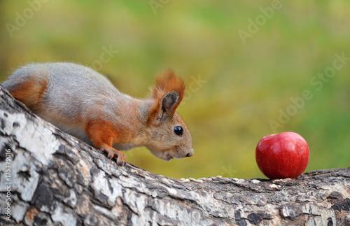 Zdjęcie XXL Wiewiórka patrzy na jabłko.