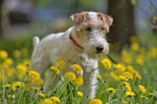 Photo White with red airedale terrier among yellow dandelions