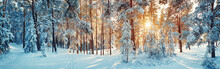 Pine Trees Covered With Snow O...
