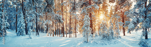 Poster Bomen Pine trees covered with snow on frosty evening. Beautiful winter panorama