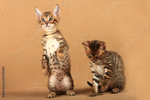 Photo  Two small kittens of the breed Toyger