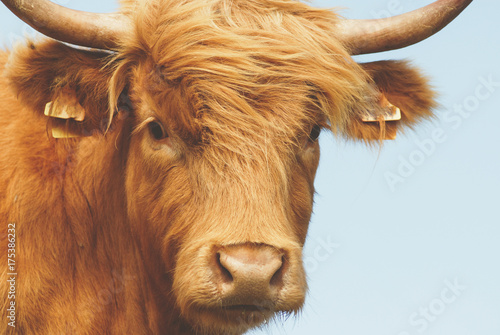 Photo sur Aluminium Vache Vache Highland