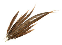 Top View Of Pheasant Tail Feat...