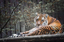 Beautiful Tiger In The Zoo Park