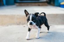 Bruce The Boston Terrier Pug