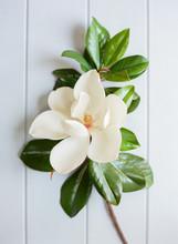 Magnolia Bloom On Blue