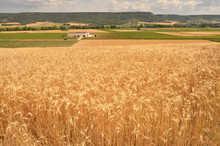 Wheat Fields And Vineyards In ...