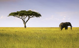 Fototapeta Sawanna - Elephant and Acacia Tree Landscape in Serengeti National Park, Tanzania, Africa