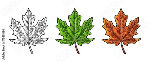 Foto Maple green and orange leaf. Vector vintage color engraving